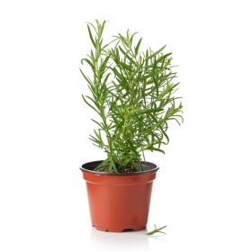 Rosemary In Pot