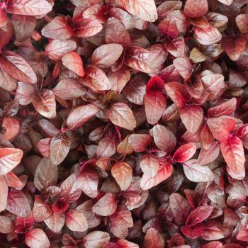 Amaranth Microgreens 10g
