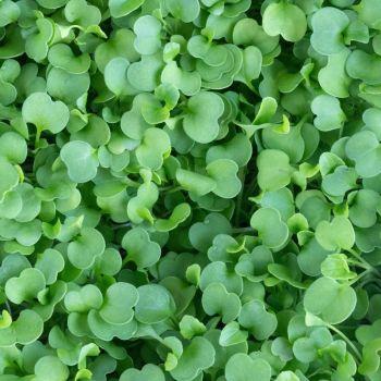 Arugula Microgreens 10g
