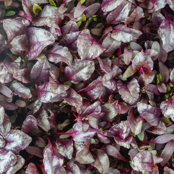 Beetroot Microgreens 10g