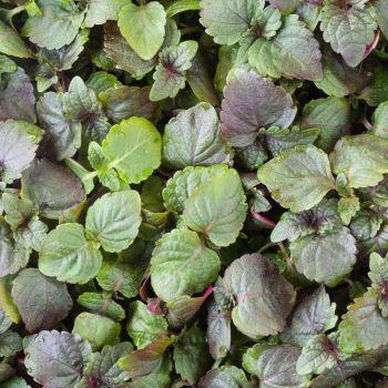 Purple Shiso Microgreens 10g